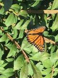 Монарх красивый Стоковая Фотография