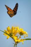 Монарх на вьсоте стоковое изображение rf