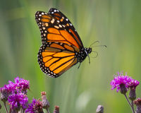 Монарх на полете Стоковые Фотографии RF