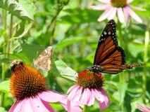 Монарх озера Торонто и другие насекомые на фиолетовом coneflower 201 стоковые фотографии rf