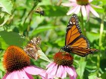 Монарх озера Торонто и другие насекомые на фиолетовых coneflowers 201 стоковое изображение