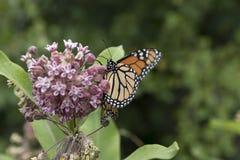 Монарх подавая на заводе Milkweed Стоковое Фото