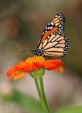 монарх цветка бабочки стоковая фотография rf