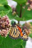 монарх цветка бабочки Стоковые Изображения