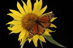 монарх стоковая фотография