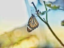 монарх стоковая фотография rf