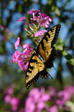 монарх 2 бабочек Стоковое фото RF