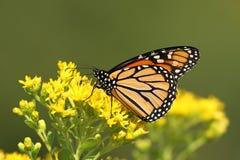 Монарх стоковые фото