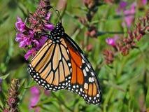монарх стоковое изображение