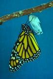 монарх chrysalis бабочки вытекая стоковая фотография