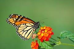 монарх lantana бабочки подавая Стоковые Фотографии RF