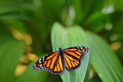 Монарх, plexippus Даная, бабочка в среду обитания природы Славное насекомое от Мексики Бабочка в зеленом усаживании бабочки леса Стоковые Изображения