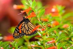 Монарх & x28; Plexippus& x29 Даная; На ярких оранжевых цветках Стоковое Изображение