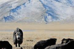 Монгольская корова в горах во время фестиваля беркута Стоковое Фото