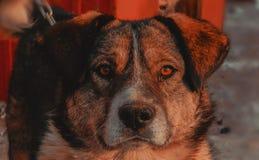 Монгольская собака горы стоковая фотография