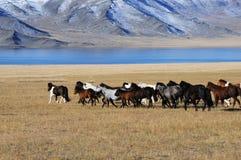 Монгольские лошади в горах во время фестиваля беркута Стоковые Фотографии RF