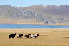 Монгольские лошади в горах во время фестиваля беркута Стоковые Фото