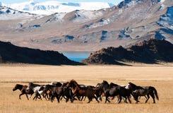 Монгольские лошади в горах во время фестиваля беркута Стоковая Фотография RF