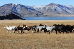 Монгольские лошади в горах во время фестиваля беркута Стоковая Фотография