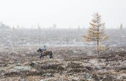 Монгольский наездник на его лошади в шторме снега Стоковые Фото