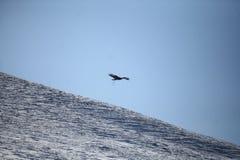Монгольское летание беркута Стоковые Изображения RF