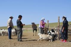 Монгол рассчитывают заново овец перед резать шерсти для войлока, около Harhorin, Монголия Стоковое Изображение RF