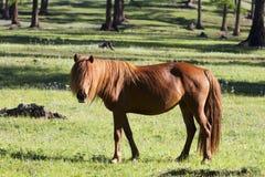 Монгольская лошадь стоковое фото