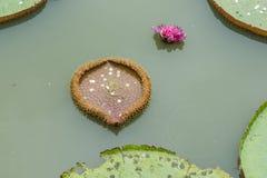 Монетки на лист лотоса Стоковые Фото