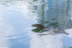 Монитор воды или дракон Таиланда аллигатор животного Стоковое фото RF