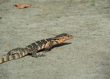 Монитор воды, Varanus Salvator, ящерица монитора вползая на земле Стоковое Изображение