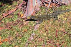монитор крокодила Стоковые Фото