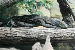 Монитор крокодила Стоковая Фотография RF