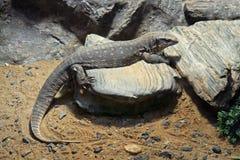 Монитор саванны на камне с песком Стоковое Изображение RF