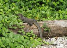 монитор ящерицы травы большой Стоковые Фото