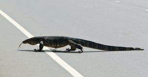 монитор ящерицы Цейлона большой одичалый Стоковые Фото