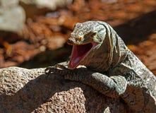 монитор ящерицы Стоковая Фотография