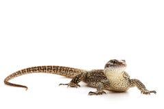 монитор timor ящерицы Стоковое фото RF