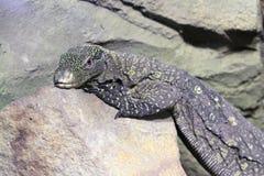 Монитор-Varanus Salvadorii папуасския Стоковое Фото