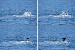 Монтаж 2 горбатых китов в заливе Hervey Стоковые Фото