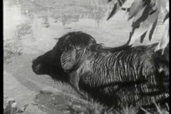 Монтаж диких животных - сычи, гиппопотам, антилопа гну, леопарды, львы, гиена сток-видео
