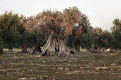 Монументальное оливковое дерево загоренное заходом солнца стоковое фото