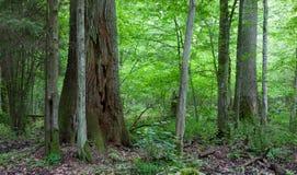 Монументальные дубы леса Bialowieza стоковое фото