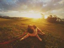Мопс в заходе солнца Стоковая Фотография