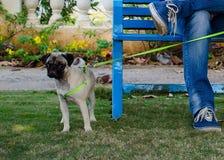 Мопс в саде стоя рядом с стендом стоковая фотография