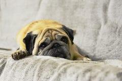 Мопс Грустная собака лежит на кресле стоковая фотография