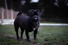 Мопс Джек Рассела на темноте травы стоковое фото rf