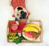 Мопс и завтрак Стоковая Фотография