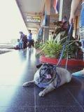 Мопс и милая собака стоковая фотография