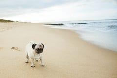 Мопс на пляже стоковая фотография rf