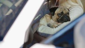Мопс сидя на руках женщины в автомобиле видеоматериал